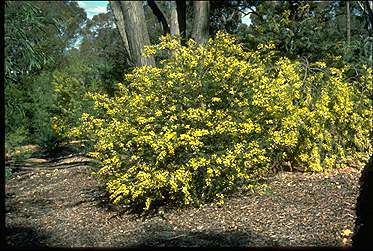 Photo of Acacia oxycedrus
