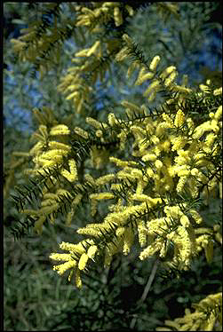 APII jpeg image of Acacia oxycedrus  © contact APII