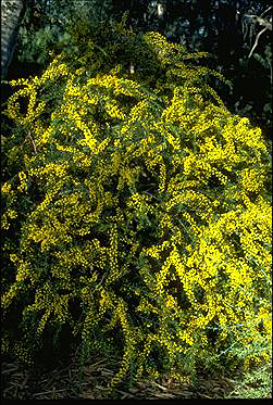 Photo of Acacia paradoxa