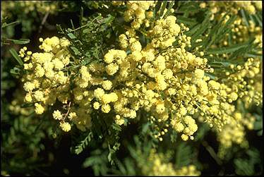 Photo of Acacia parramattensis
