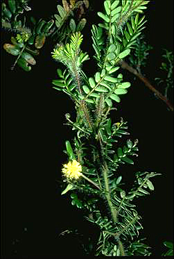 APII jpeg image of Acacia phlebopetala  © contact APII