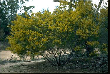 APII jpeg image of Acacia pilligaensis  © contact APII