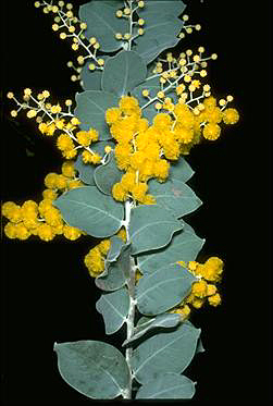 Photo of Acacia podalyriifolia