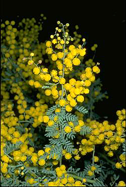 APII jpeg image of Acacia polybotrya  © contact APII