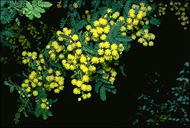 APII jpeg image of Acacia pubescens  © contact APII