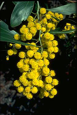 Photo of Acacia pycnantha