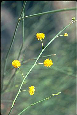 APII jpeg image of Acacia restiacea  © contact APII