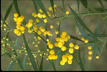 Photo of Acacia retinodes