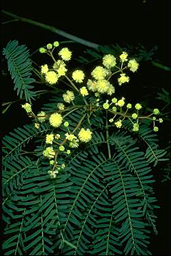 Photo of Acacia schinoides