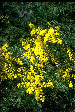APII jpeg image of Acacia silvestris  © contact APII