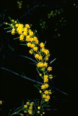 APII jpeg image of Acacia sulcata  © contact APII