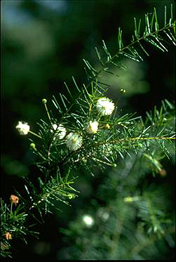 Photo of Acacia ulicifolia
