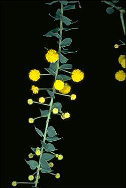 APII jpeg image of Acacia uncinata  © contact APII