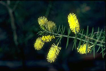 Photo of Acacia verticillata