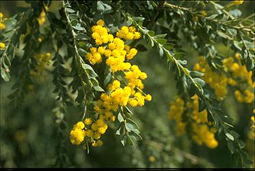 Photo of Acacia vestita