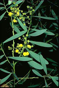 APII jpeg image of Acacia wattsiana  © contact APII