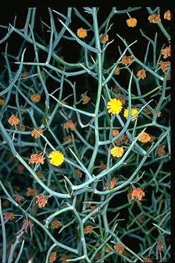APII jpeg image of Acacia aphylla  © contact APII