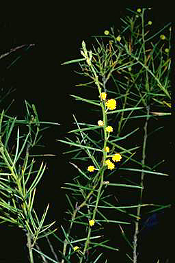 APII jpeg image of Acacia enterocarpa  © contact APII