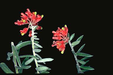 APII jpeg image of Grevillea saccata  © contact APII