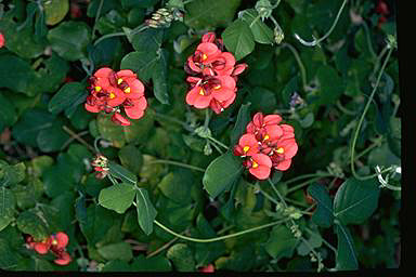 APII jpeg image of Kennedia macrophylla  © contact APII