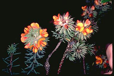 APII jpeg image of Pultenaea aristata  © contact APII