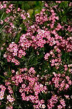 APII jpeg image of Chamelaucium uncinatum 'Purple Pride'  © contact APII