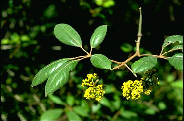 APII jpeg image of Cissus hypoglauca  © contact APII