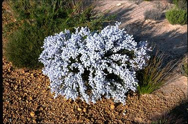 APII jpeg image of Conospermum filifolium  © contact APII