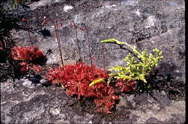 APII jpeg image of Drosera spatulata  © contact APII