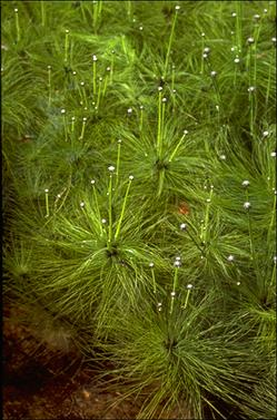 APII jpeg image of Eriocaulon setaceum  © contact APII