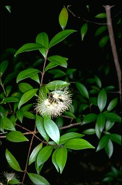 APII jpeg image of Syzygium oleosum  © contact APII