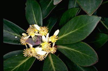 APII jpeg image of Tasmannia purpurascens  © contact APII