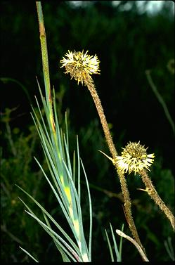 APII jpeg image of Dasypogon obliquifolius  © contact APII