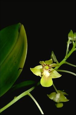 APII jpeg image of Leioanthum bifalce  © contact APII