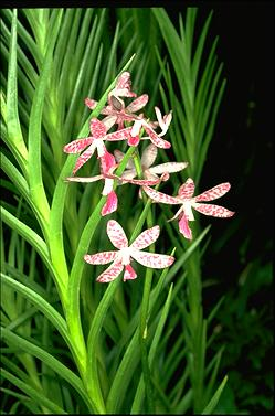 APII jpeg image of Dipodium ensifolium  © contact APII