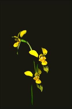 APII jpeg image of Diuris aurea  © contact APII