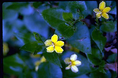 APII jpeg image of Goodenia ovata  © contact APII