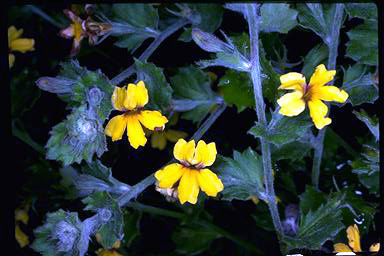 APII jpeg image of Goodenia rotundifolia  © contact APII