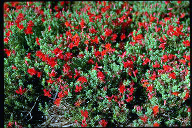 APII jpeg image of Lechenaultia formosa  © contact APII