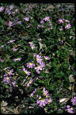 APII jpeg image of Scaevola aemula  © contact APII
