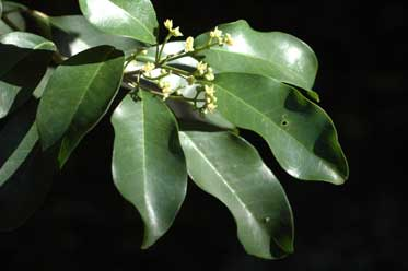 APII jpeg image of Flindersia brayleyana  © contact APII