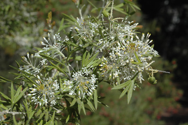 APII jpeg image of Grevillea vestita  © contact APII
