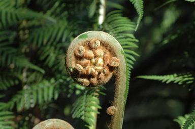 APII jpeg image of Dicksonia antarctica  © contact APII