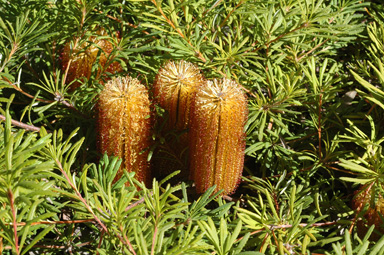 APII jpeg image of Banksia spinulosa 'Stumpy Gold'  © contact APII