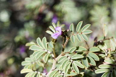 APII jpeg image of Indigofera helmsii  © contact APII