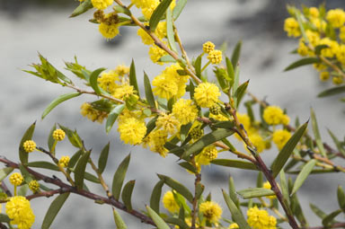 APII jpeg image of Acacia cochlearis  © contact APII