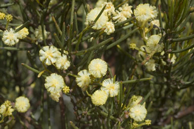 APII jpeg image of Acacia gonophylla  © contact APII