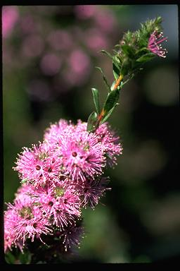 APII jpeg image of Kunzea capitata  © contact APII