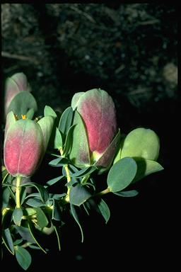 APII jpeg image of Pimelea physodes  © contact APII