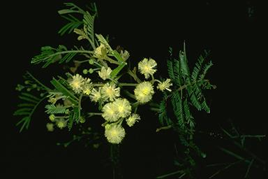 APII jpeg image of Acacia constablei  © contact APII